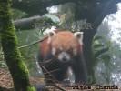 Red Panda- Darjeeling Zoo
