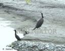 Chilapata Cormorant 3