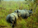 Jaldapara Rhino