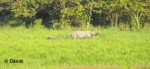 Dooars -Rhino from Medla WT