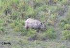 Rhino at Gorumara